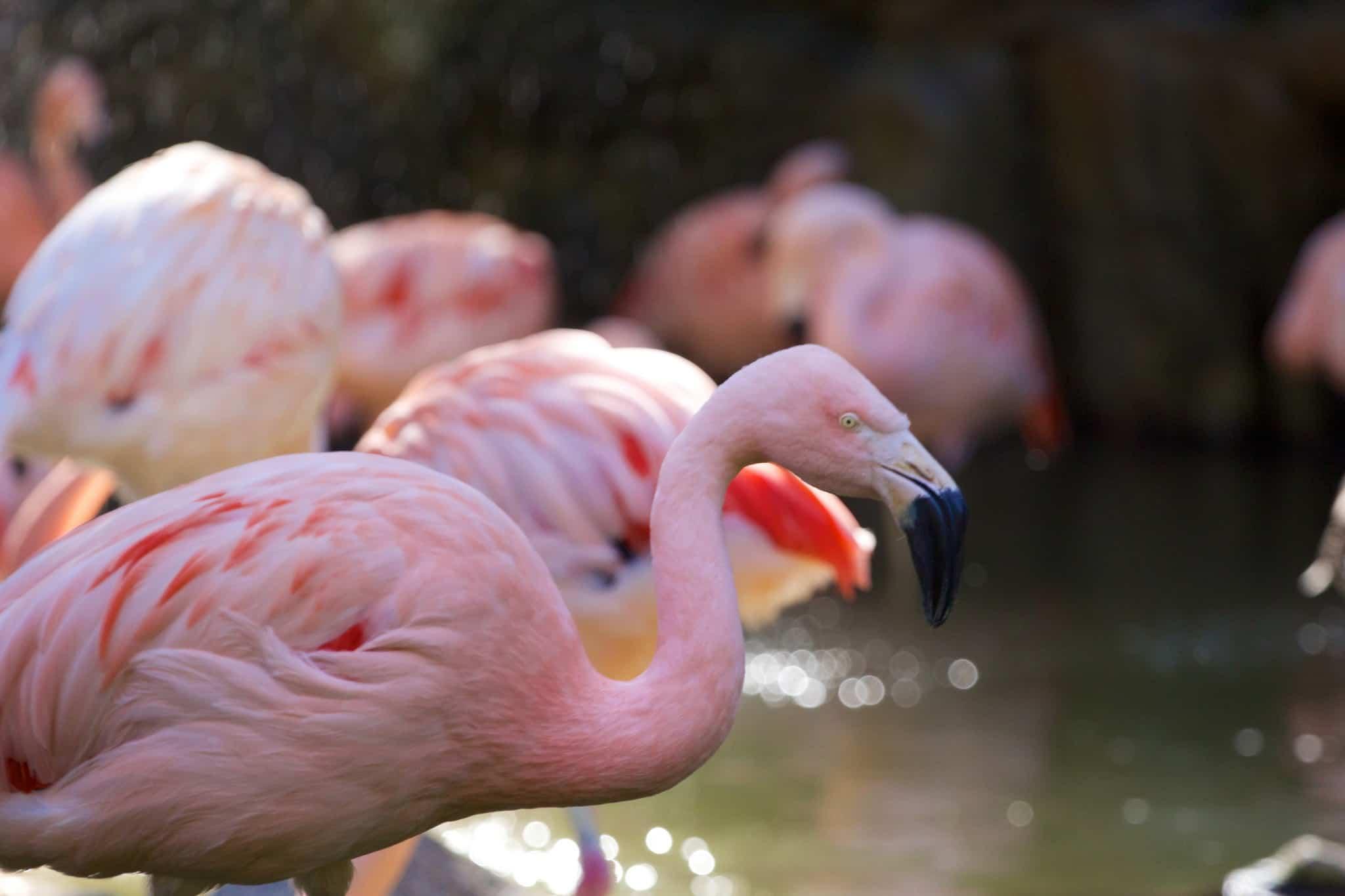 los angeles zoo flamingos