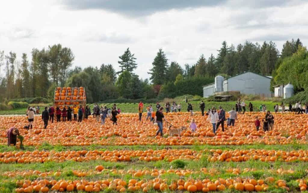people picking pumpkins at mann farms