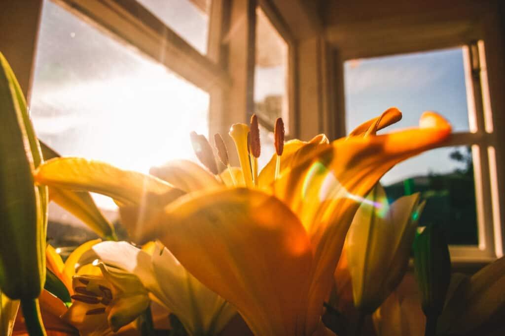 lens flare flower bloom in sunlight